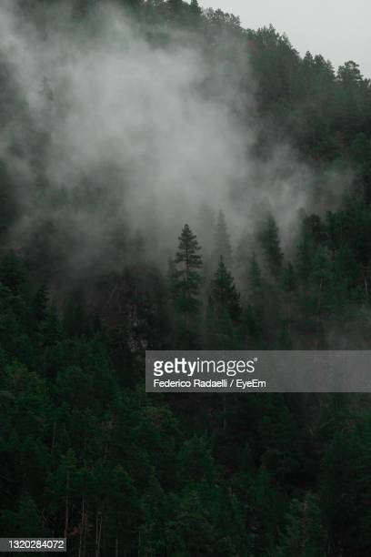 trees in forest against sky in the fog, with a dominant tree - バルドネキア ストックフォトと画像