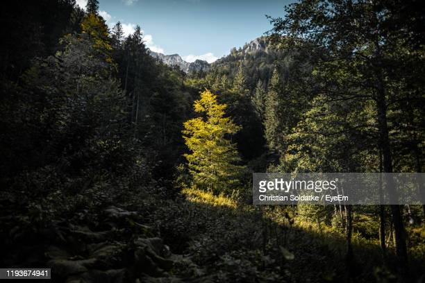trees in forest against sky - christian soldatke stock pictures, royalty-free photos & images