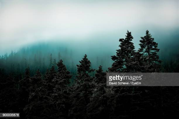 trees in forest against sky - pine woodland stock pictures, royalty-free photos & images