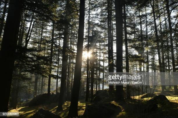 trees in forest against sky - pinaceae stock photos and pictures