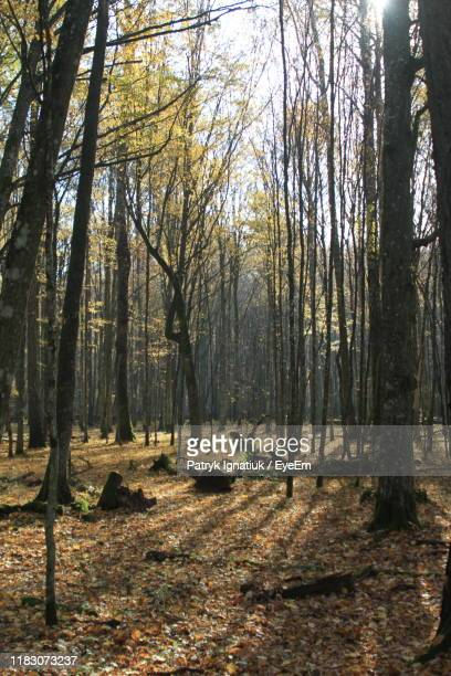 trees in forest during autumn - bialowieza forest stock pictures, royalty-free photos & images