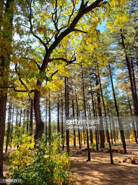 trees in forest during autumn - krings stock pictures, royalty-free photos & images