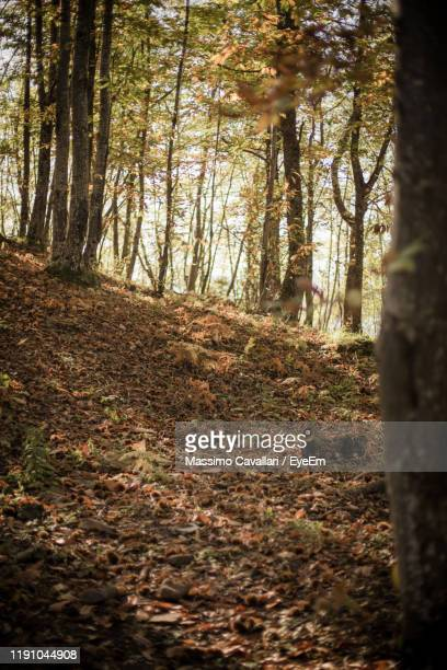 trees in forest during autumn - massimo cavallari stock pictures, royalty-free photos & images