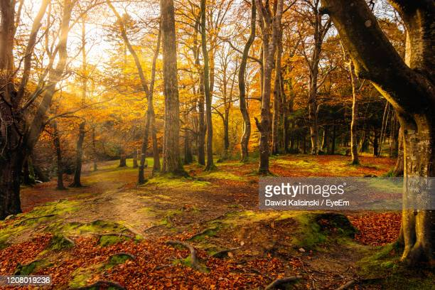 trees in forest during autumn - northern ireland stock pictures, royalty-free photos & images