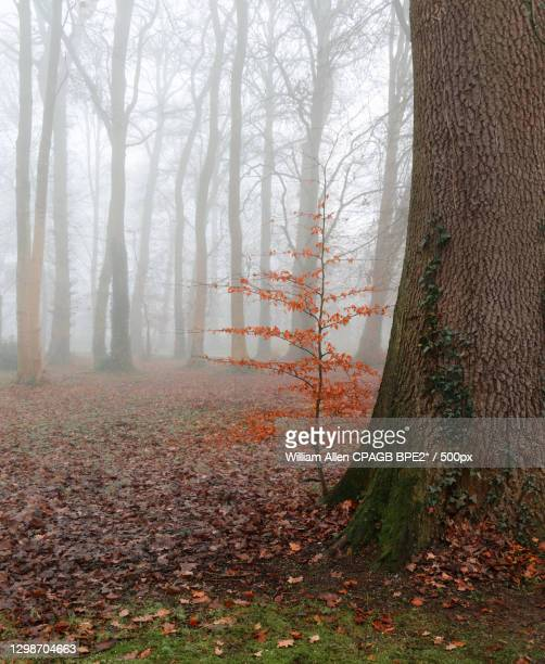 trees in forest during autumn,antrim bt,united kingdom,uk - plant part stock pictures, royalty-free photos & images