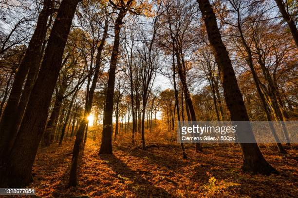 trees in forest during autumn,bonn,germany - ボン ストックフォトと画像