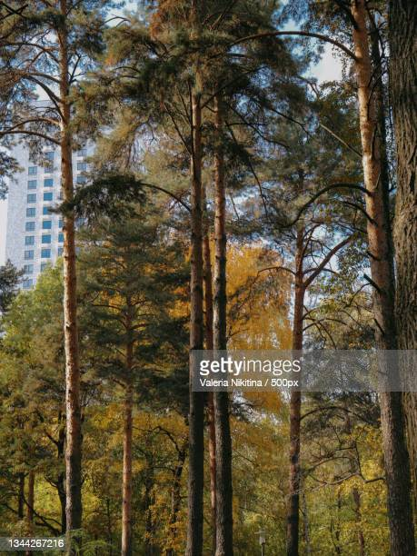 trees in forest during autumn,russia - nikitina stock pictures, royalty-free photos & images