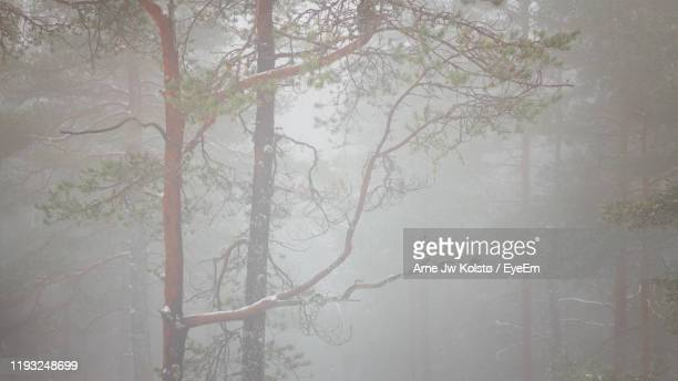 trees in forest during foggy weather - arne jw kolstø stock pictures, royalty-free photos & images