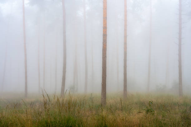 Trees in forest during foggy weather,Hoogerheide,Netherlands