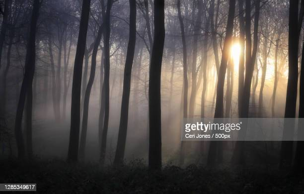 trees in forest during foggy weather,oxford,united kingdom,uk - woodland stock pictures, royalty-free photos & images
