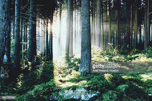 Trees In Forest During Sunrise