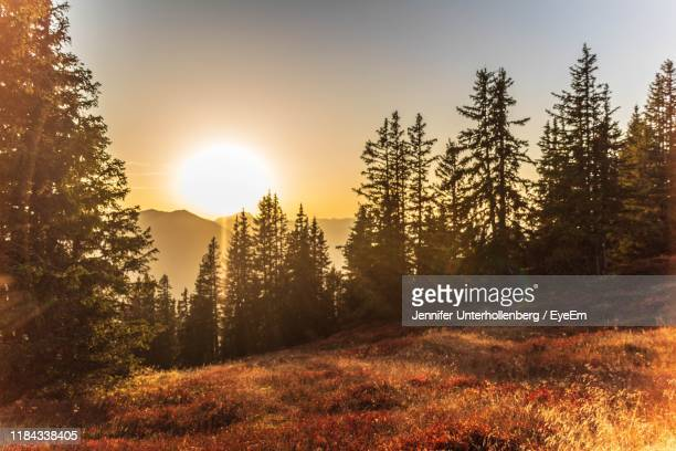 trees in forest during sunset - leogang stock pictures, royalty-free photos & images