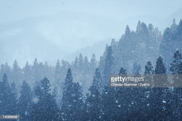 trees in forest during winter against sky - snowing stock pictures, royalty-free photos & images