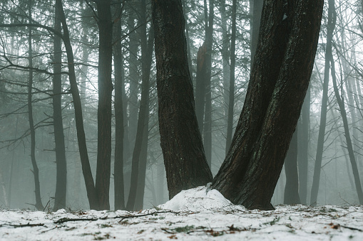 Trees In Forest During Winter - gettyimageskorea