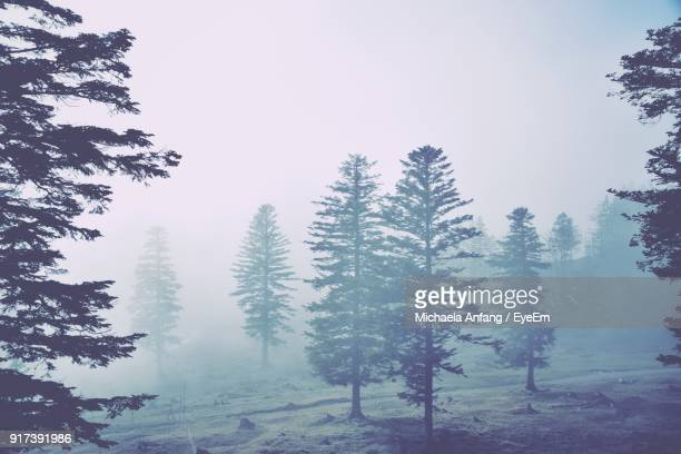 trees in forest during winter - anfang stock pictures, royalty-free photos & images