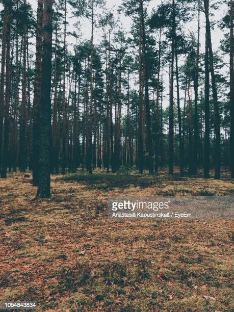 trees in forest - pinaceae stock pictures, royalty-free photos & images
