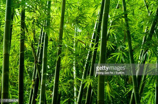 trees in forest - bamboo plant stock pictures, royalty-free photos & images