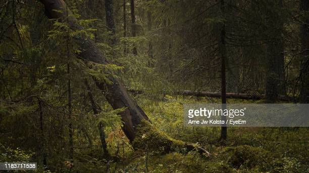 trees in forest - arne jw kolstø stock pictures, royalty-free photos & images