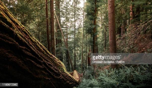 trees in forest - christian soldatke stock pictures, royalty-free photos & images
