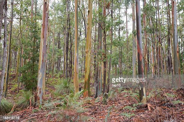 trees in forest - eucalyptus tree stock pictures, royalty-free photos & images