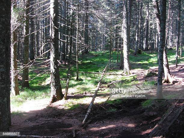 trees in forest - tree with thorns on trunk stock photos and pictures