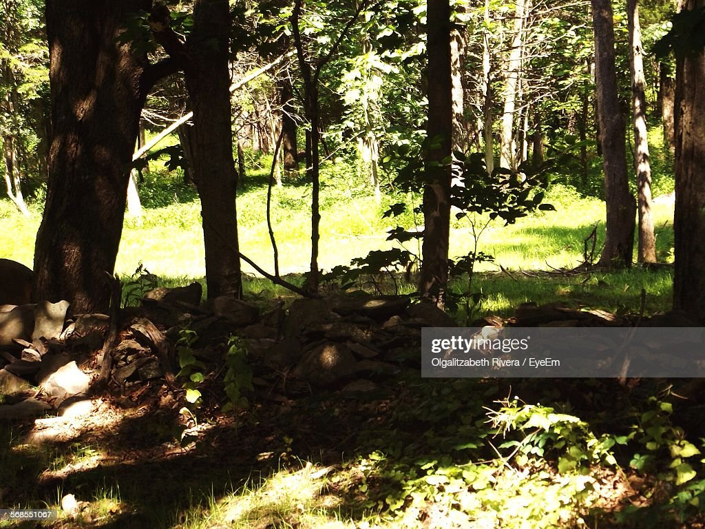 Trees In Forest : Stock Photo