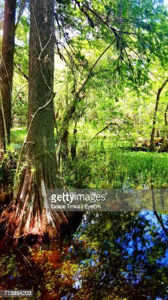 trees in forest - cypress swamp stock photos and pictures