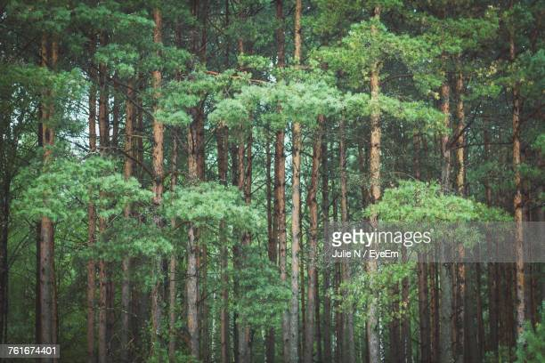 trees in forest - belarus stock pictures, royalty-free photos & images