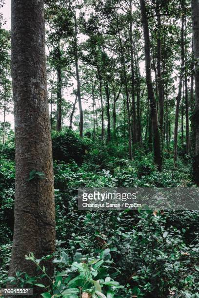 trees in forest - chanayut stock photos and pictures