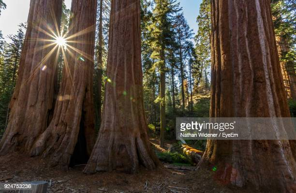 trees in forest - sequoia national park stock pictures, royalty-free photos & images