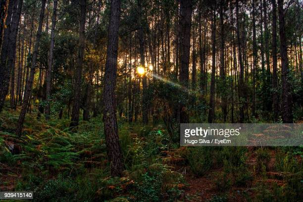 trees in forest - sintra stock pictures, royalty-free photos & images
