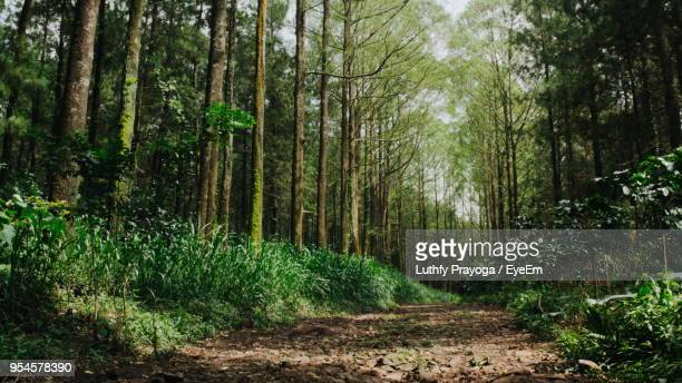 trees in forest - pine woodland stock pictures, royalty-free photos & images