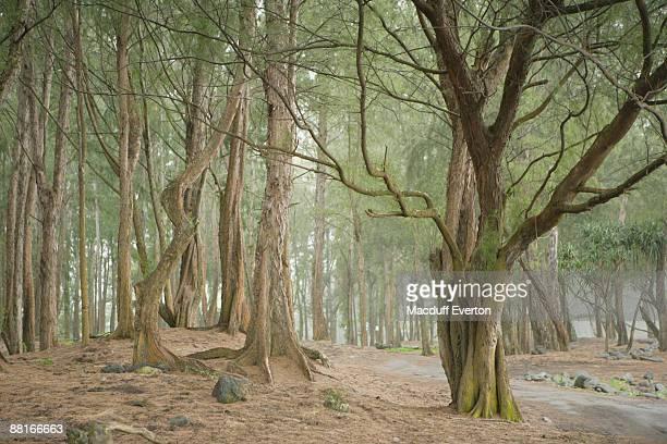 """""""Trees in forest , Waipio Valley , Hawaii"""""""