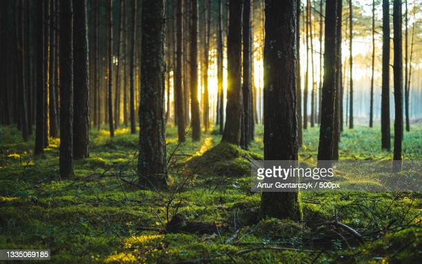 trees in forest,poland - poland stock pictures, royalty-free photos & images