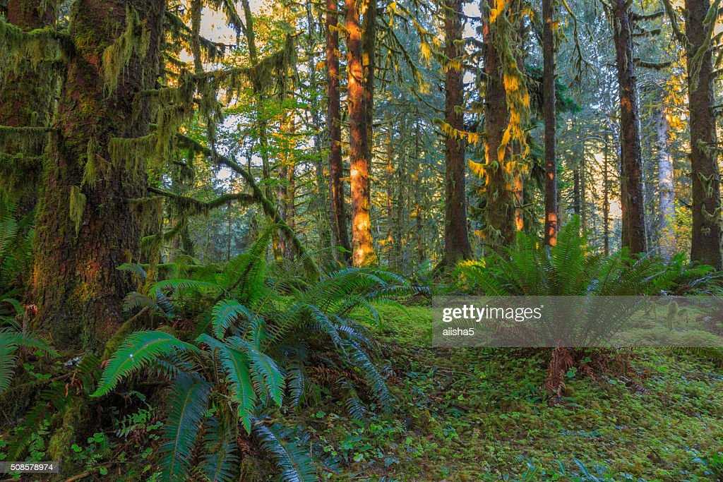 Trees in Hoh Rainforest : Stockfoto