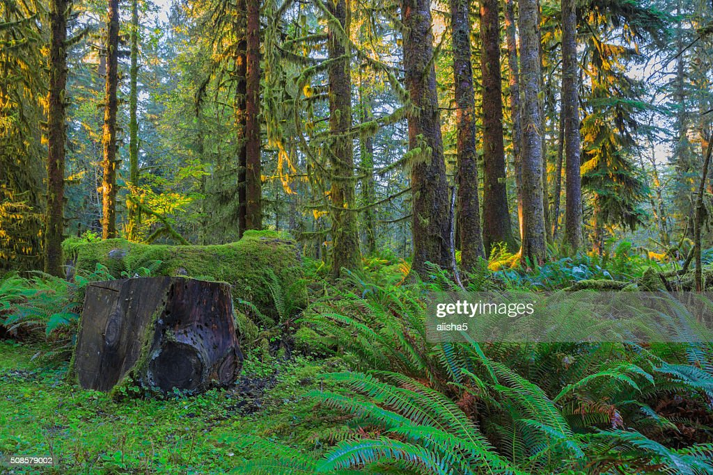 Trees in Hoh Rainforest : Bildbanksbilder