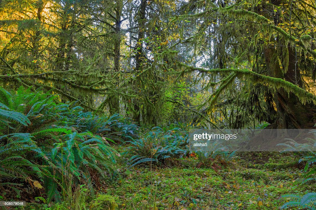 Trees in Hoh Rainforest : Stockfoto