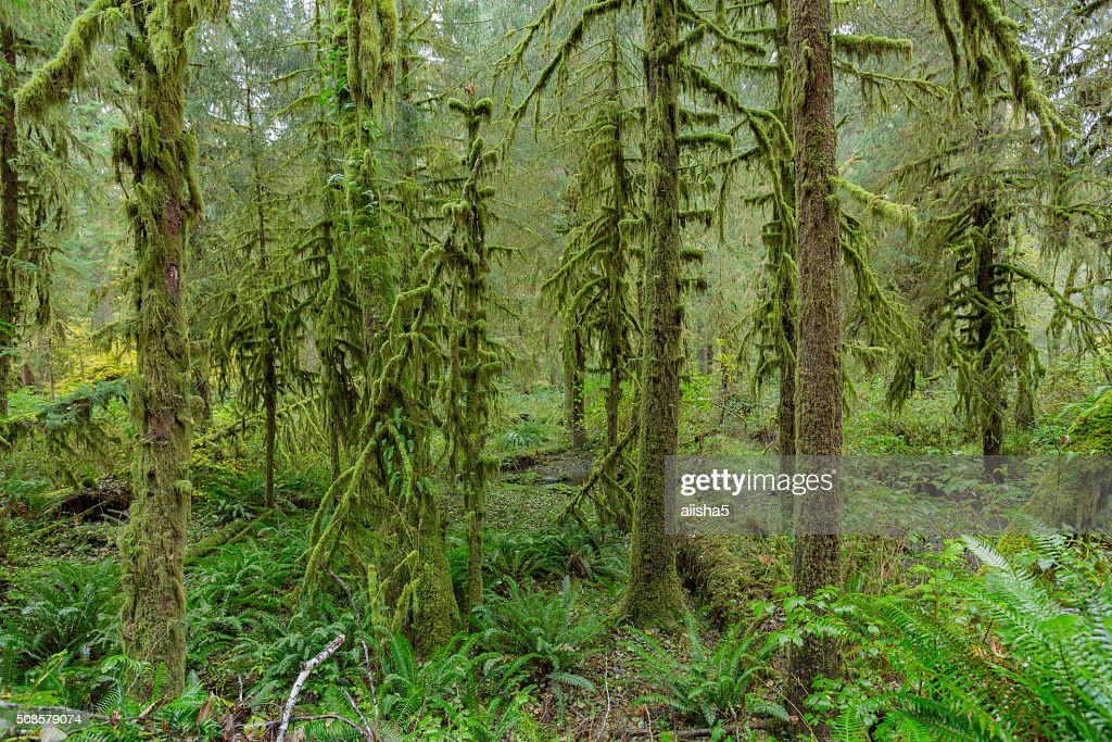 Trees in Hoh Rainforest : Stock Photo