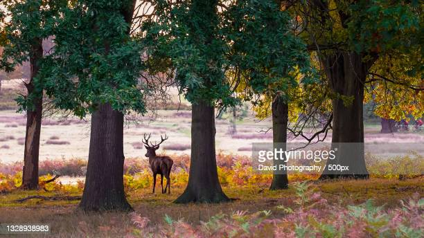 trees in park during autumn,richmond park,richmond,united kingdom,uk - deer stock pictures, royalty-free photos & images
