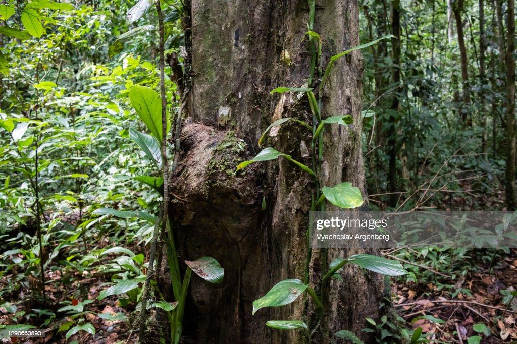 Trees in rainforest, Borneo, Malaysia : Stock Photo