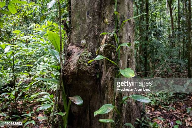 trees in rainforest, borneo, malaysia - argenberg stock pictures, royalty-free photos & images