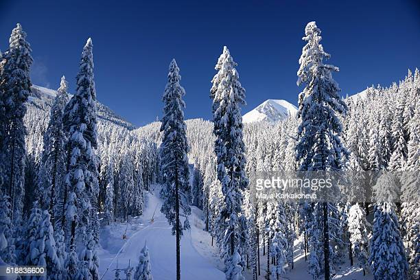 Trees in ski area after a snowfall