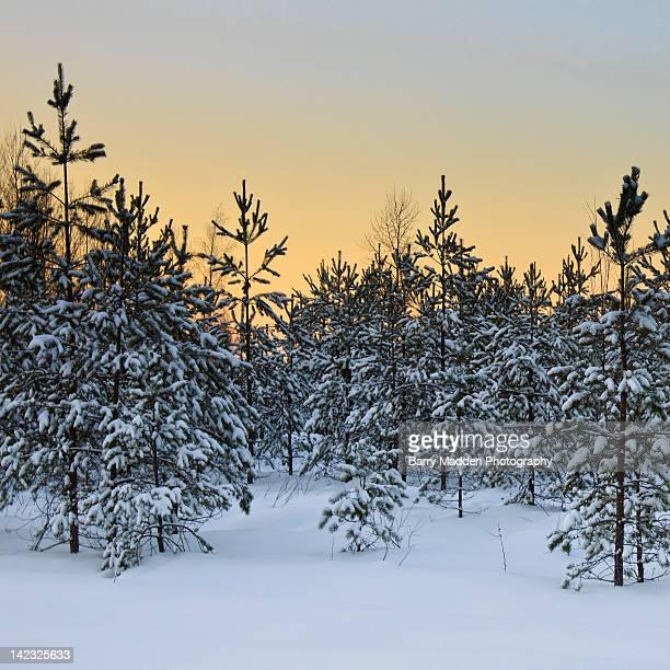 trees in snow at sunset - ラッペーンランタ ストックフォトと画像