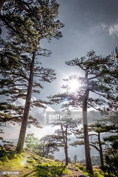 trees in sunlight, corsica, france - corsica stock-fotos und bilder