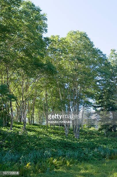trees in the mornig light - kazuko kimizuka stockfoto's en -beelden