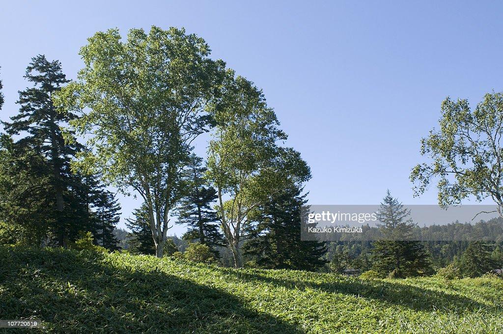 trees in the mornig sun : ストックフォト