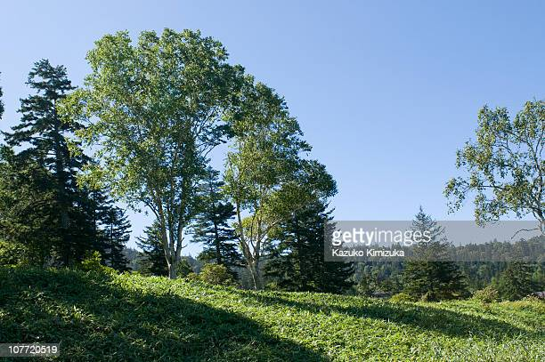 trees in the mornig sun - kazuko kimizuka stock pictures, royalty-free photos & images