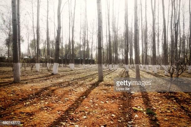 trees in the morning - liyao xie stockfoto's en -beelden