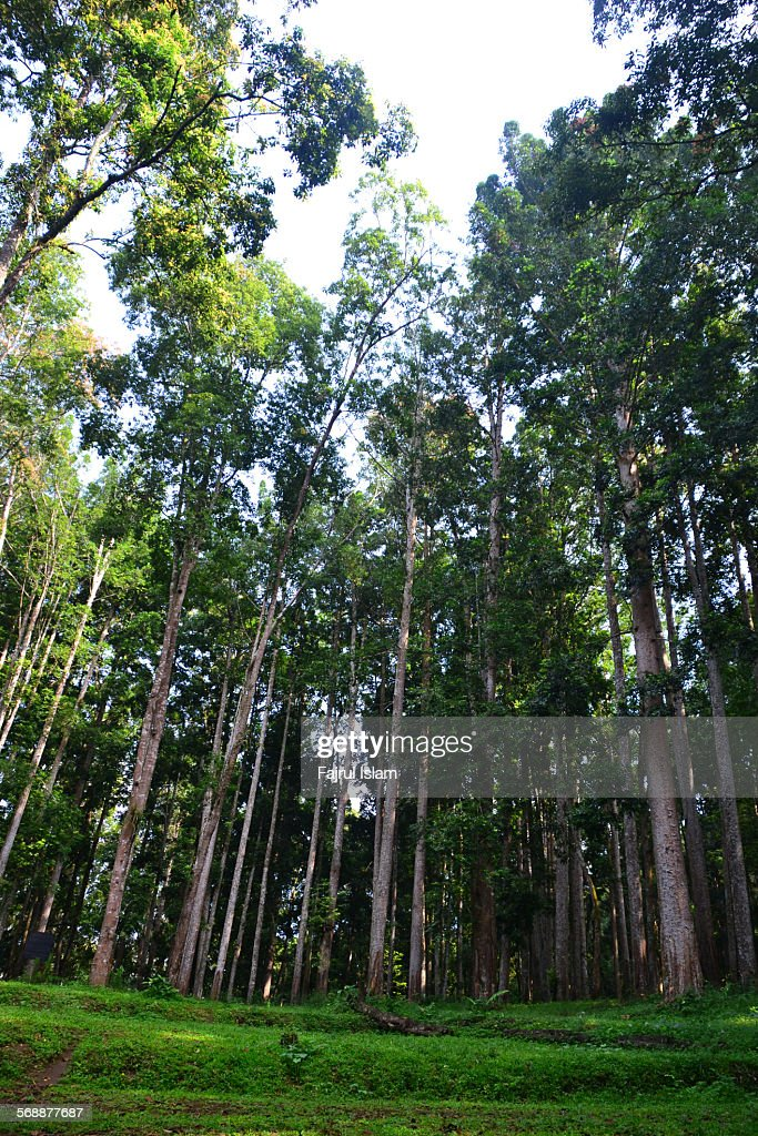 Trees in the tropical rain forest : Stock Photo