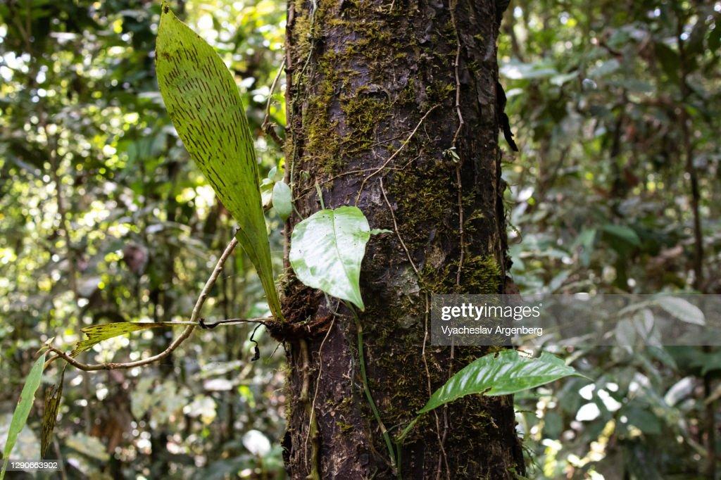 Trees in tropical rainforest, Borneo, Malaysia : Stock Photo